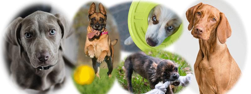 Image cms chiens